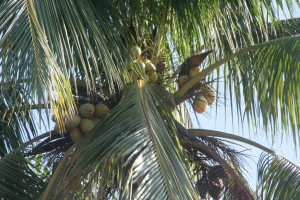 Coconuts, Kingston, Jamaica.