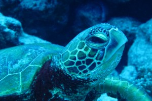 The two most common sea turtles found in Rarotonga are the Green turtle, pictured here with a rounded head, and the Hawksbill turtle, which is critically endangered.