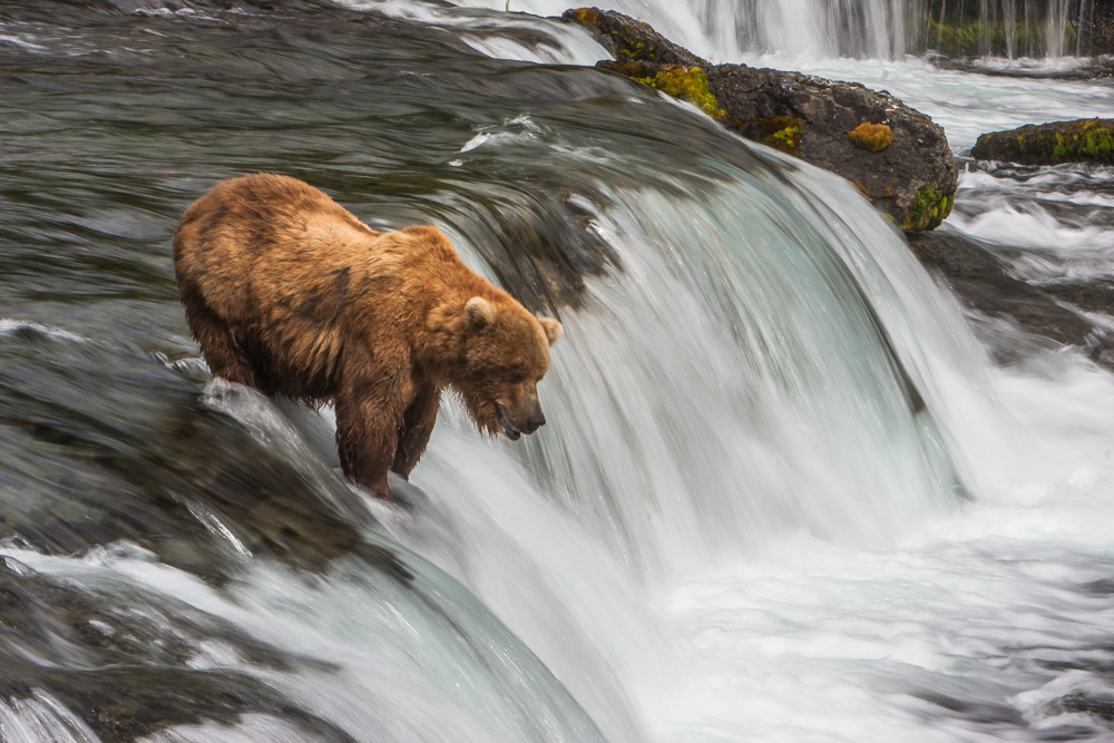 Coastal Brown Bears of Katmai National Park, Alaska [pics]