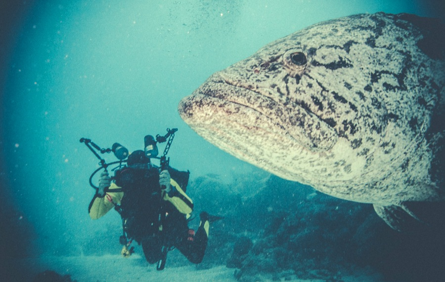 A cod's face with a diver in the background