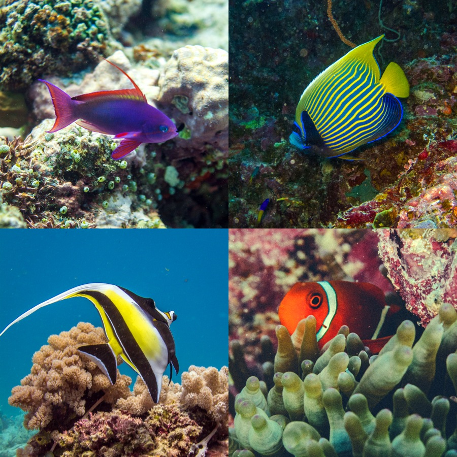 Purple, yellow, and orange striped fish
