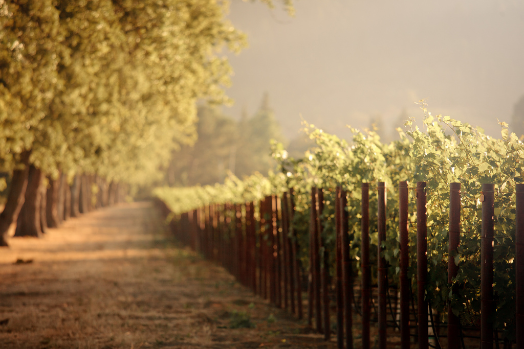 A peaceful lane beside grape vines
