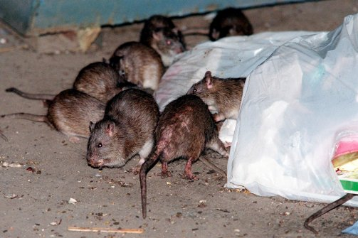 Some rats near a trash bag
