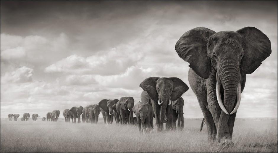A line of elephants walking