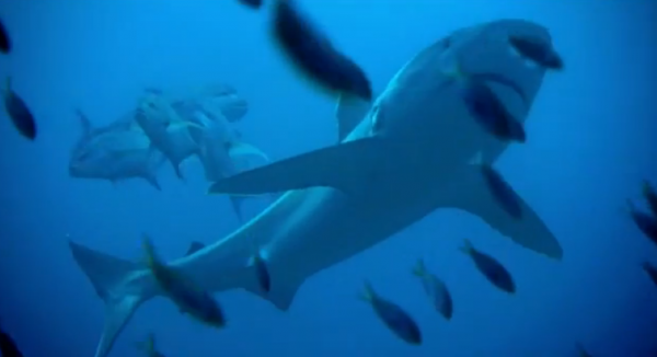 A shark cruising by some fish