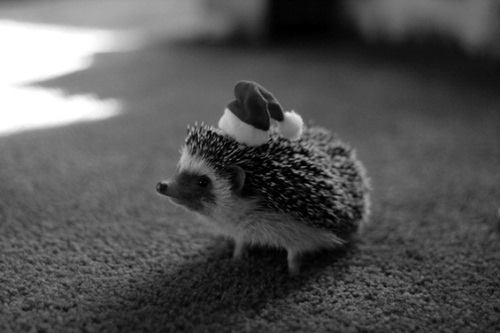 Black and white hedgehog photo