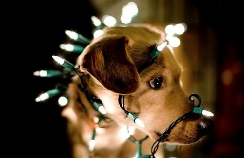 Dog tangled in lights