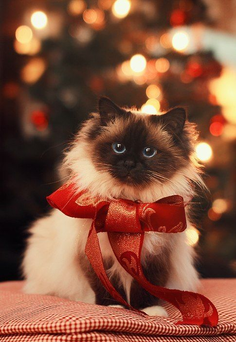 A cat with ribbon