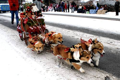 Small dogs pulling sled