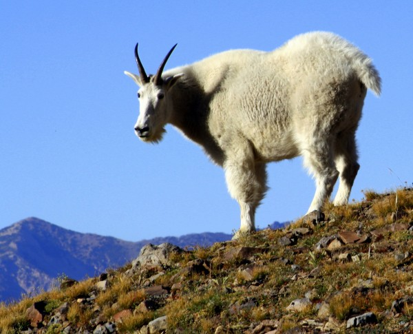 Goat on mountain