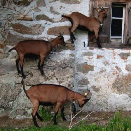 Goats climbing house