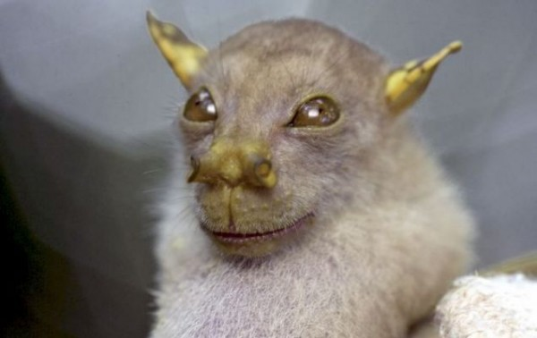 Tube-Nosed Fruit Bat
