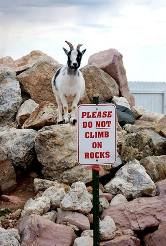 Goat by 'no climbing' sign