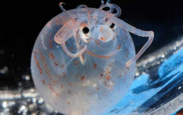 Banded Piglet Squid