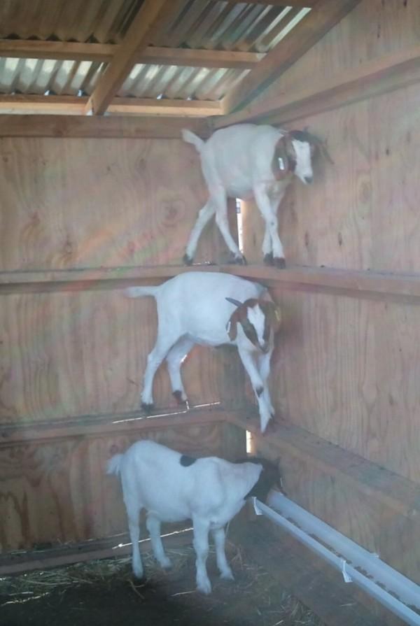 Goat climbing shed wall