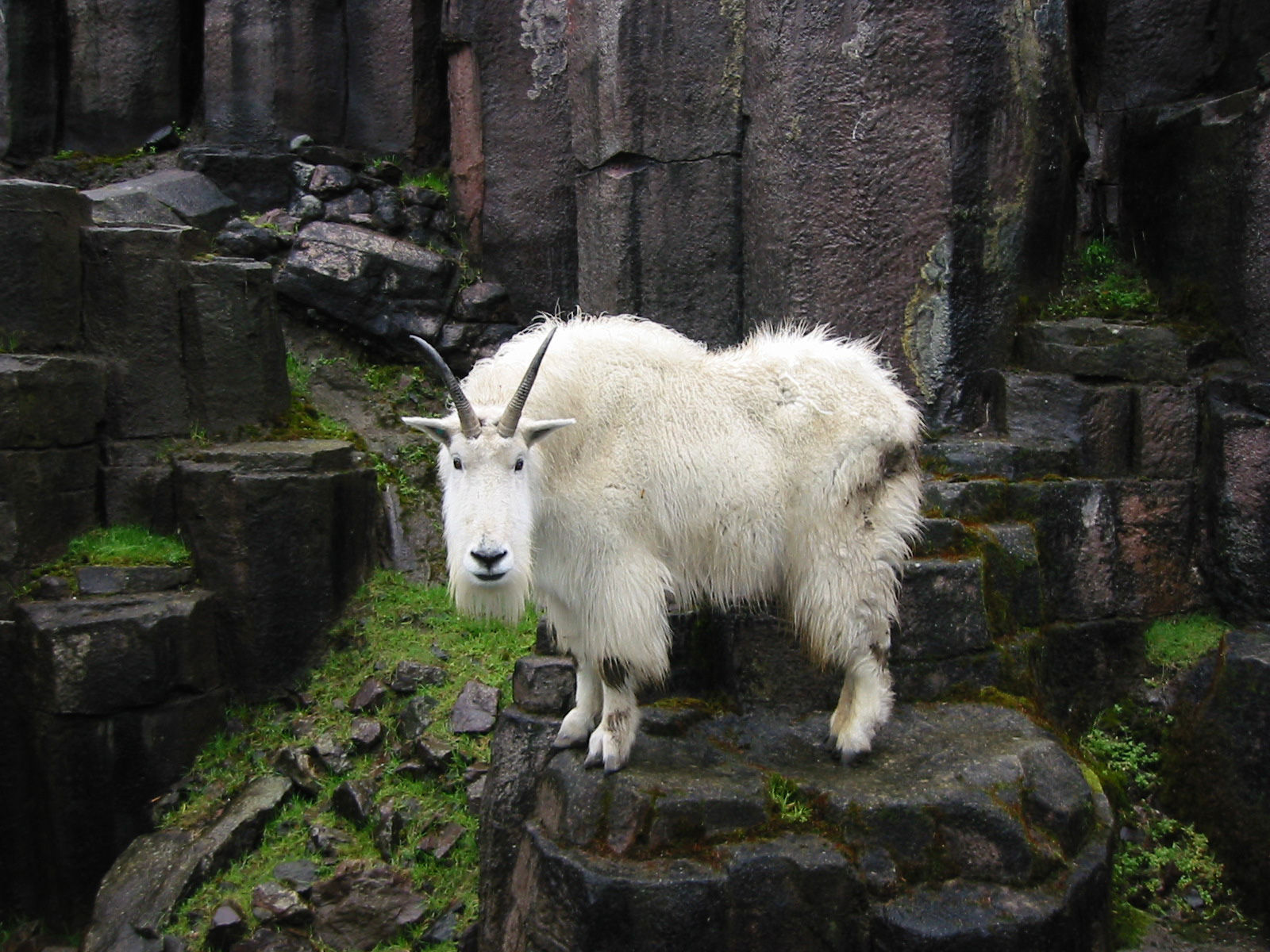 32 photos that prove goats are the world u0027s best climbers