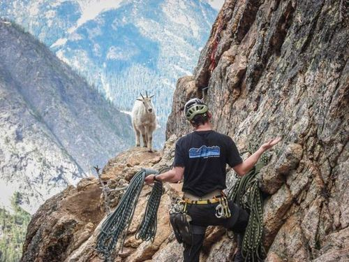 Goat and climber
