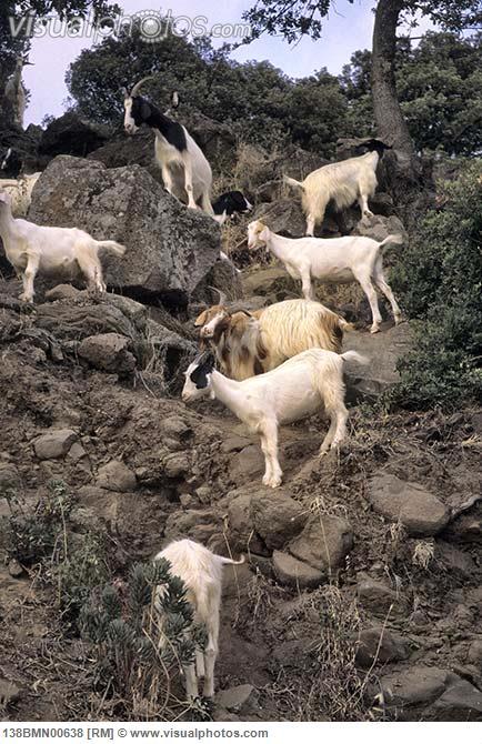 Goat standing on rocks
