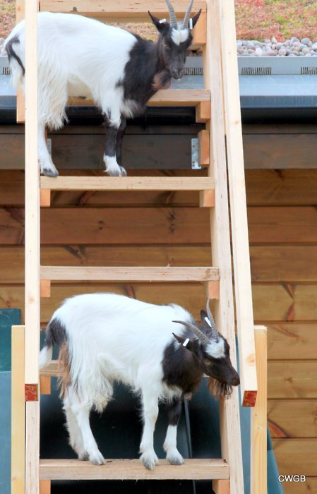 Goat standing on ladder