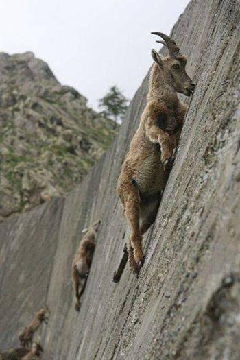 Goat climbing on rock