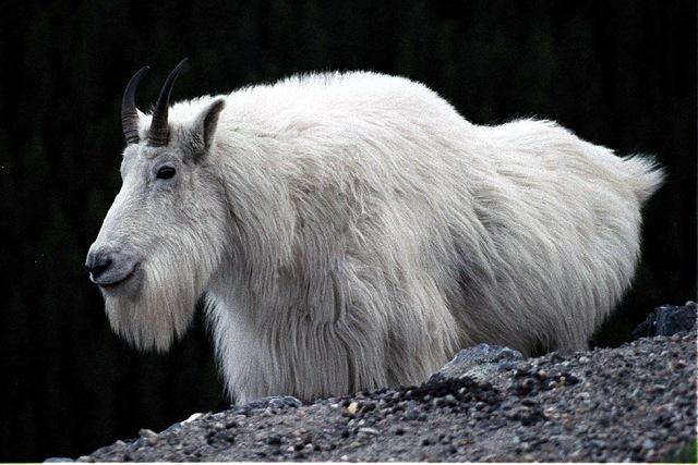 18 Mountain Goats Have A Wooly Coat That Keeps Them Warm At High Altitudes This Has Double Layer For Extra Insulation Which Molts In The Summer