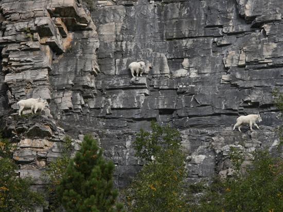 Goats climbing