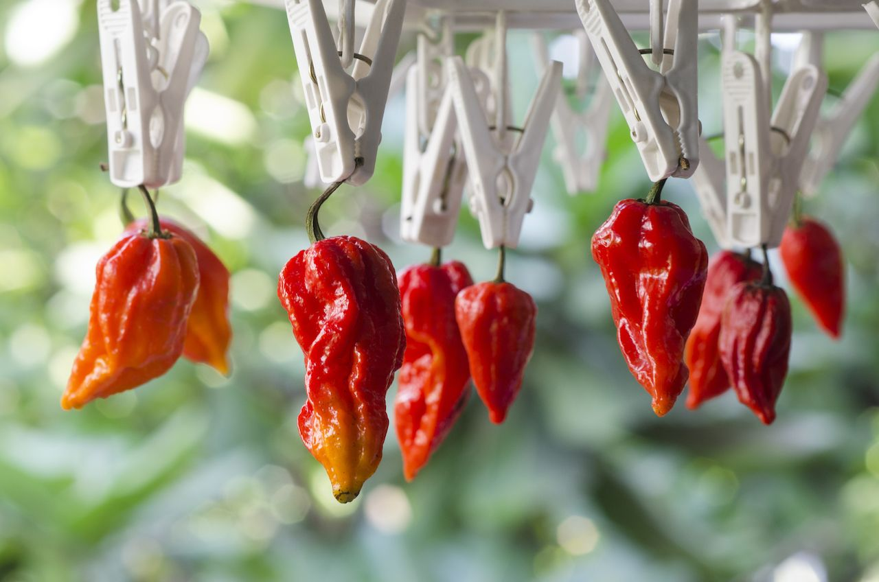 Bhut Jolokia Red Chili Peppers hanging from clippers