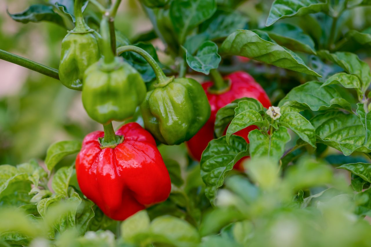 Scotch bonnet peppers