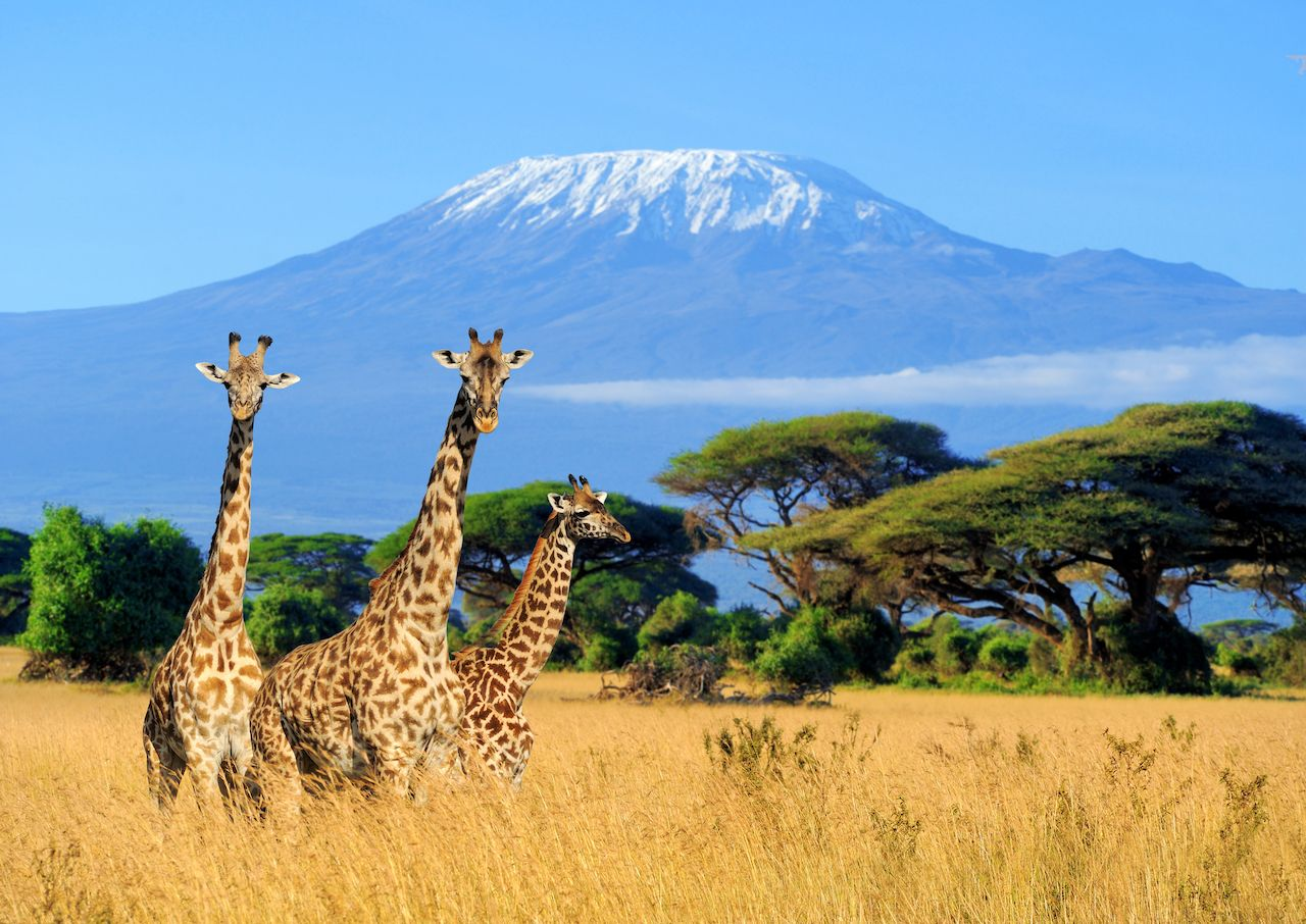 Three giraffe on Kilimanjaro