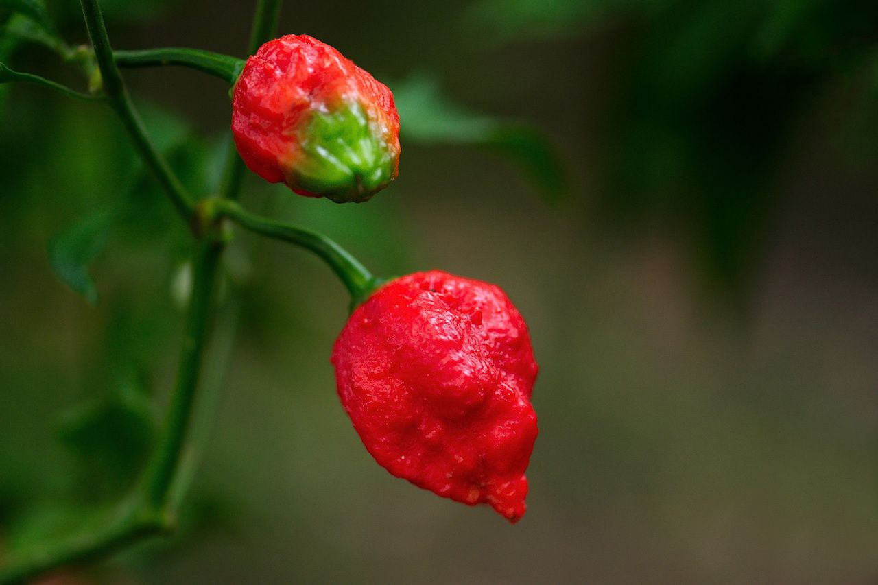 Trinidad Morgua spicy peppers on a vine