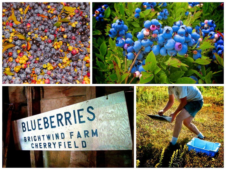 blueberry-harvest-maine