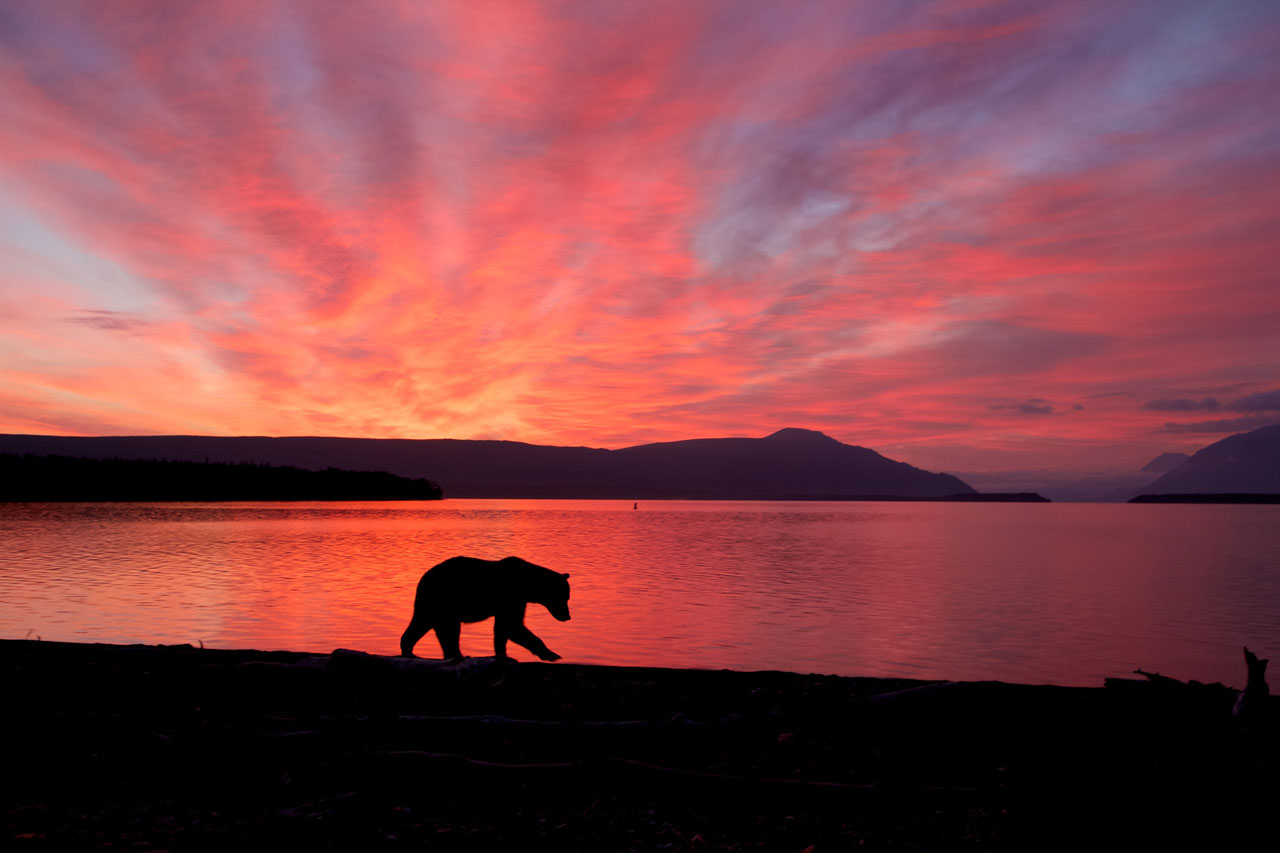 Bear at sunrise