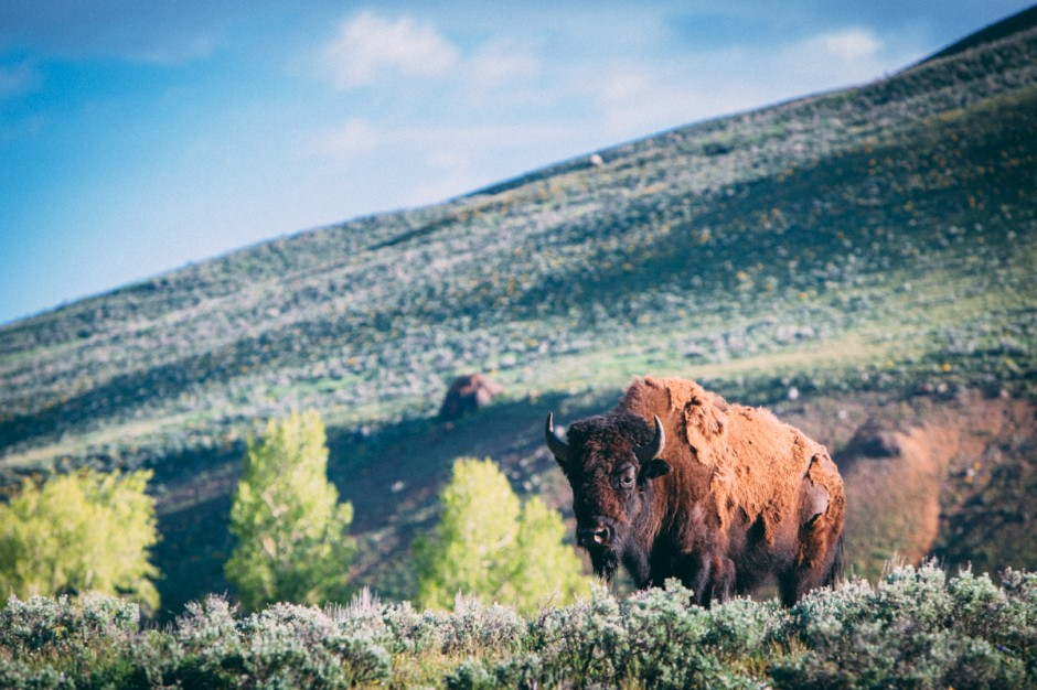 Bison, Lamar Valley, Yellowstone