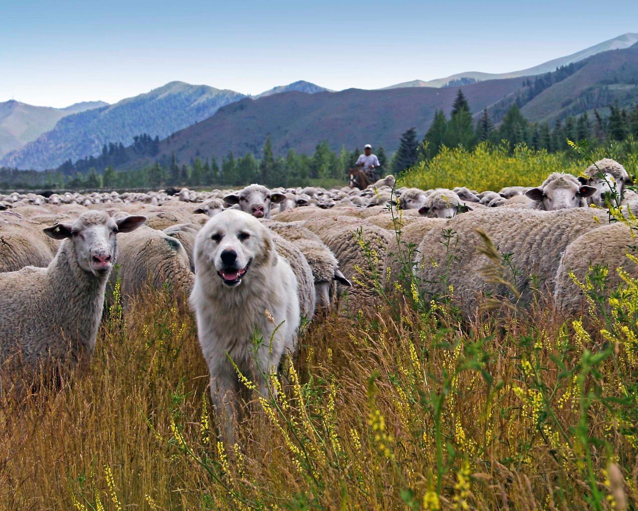 Sun Valley sheep dog