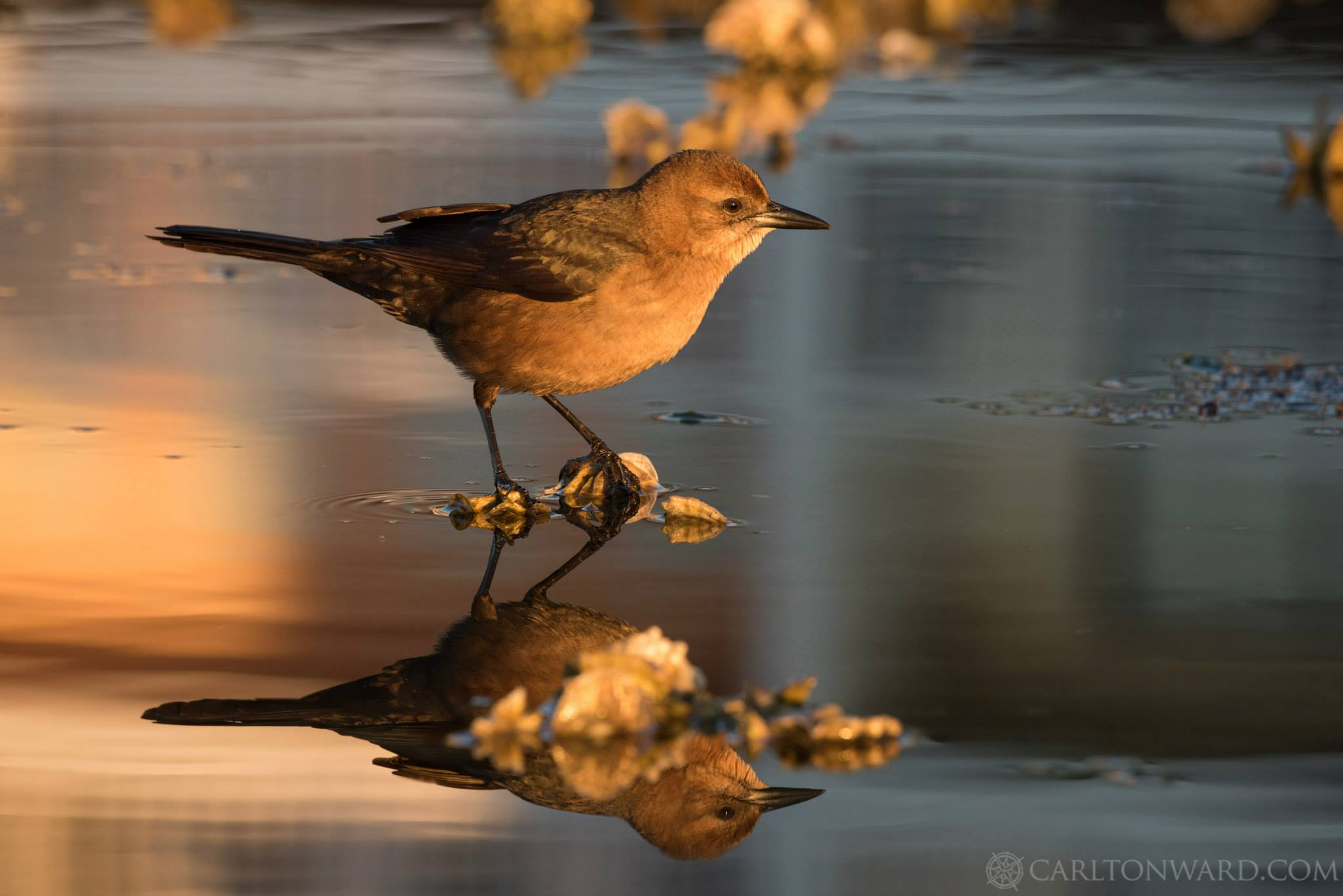 Photo: Carlton Ward  A common grackle searches through an oyster bar near Cedar Key in the golden morning light.