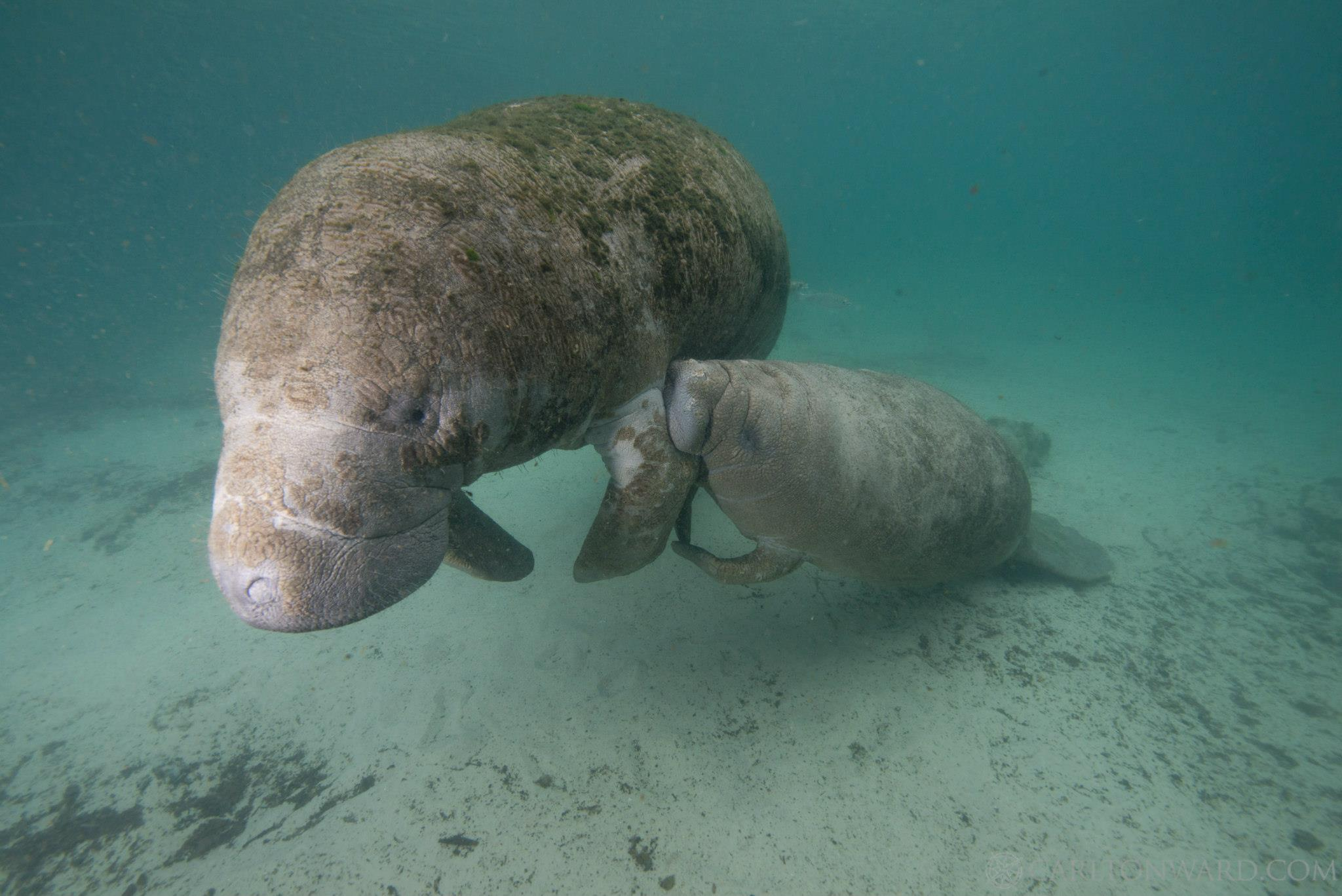 Photo: Carlton Ward  A West Indian manatee and her calf.
