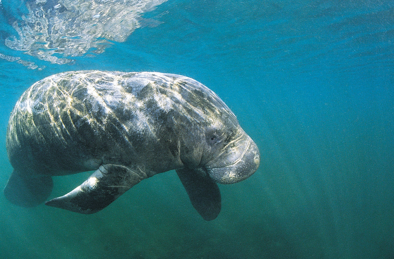 Fort Myers manatee