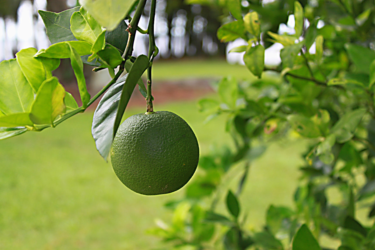 Lime on a tree