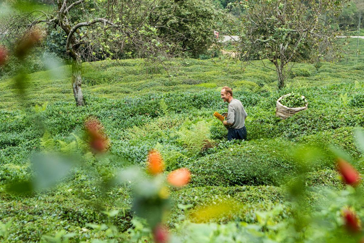 Black Sea tea plantation