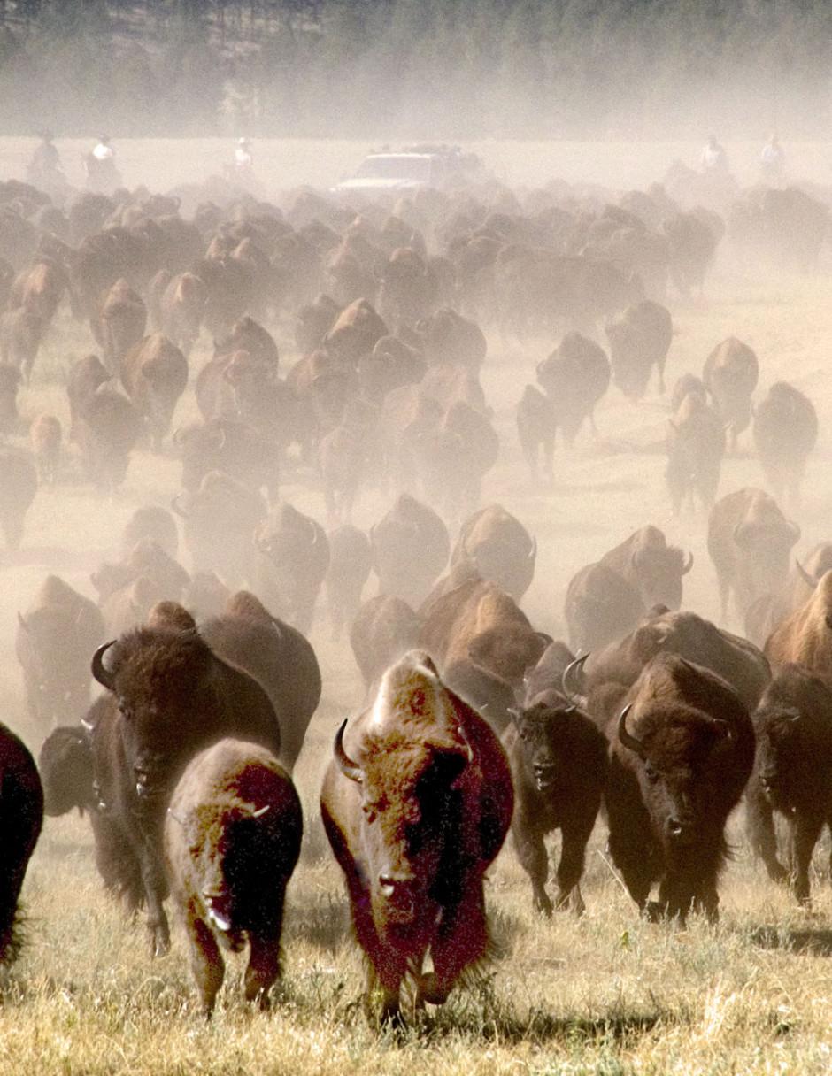 Buffalo Roundup, Custer State Park