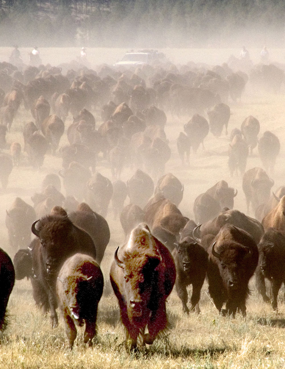 Buffalo Roundup, Custer State Park
