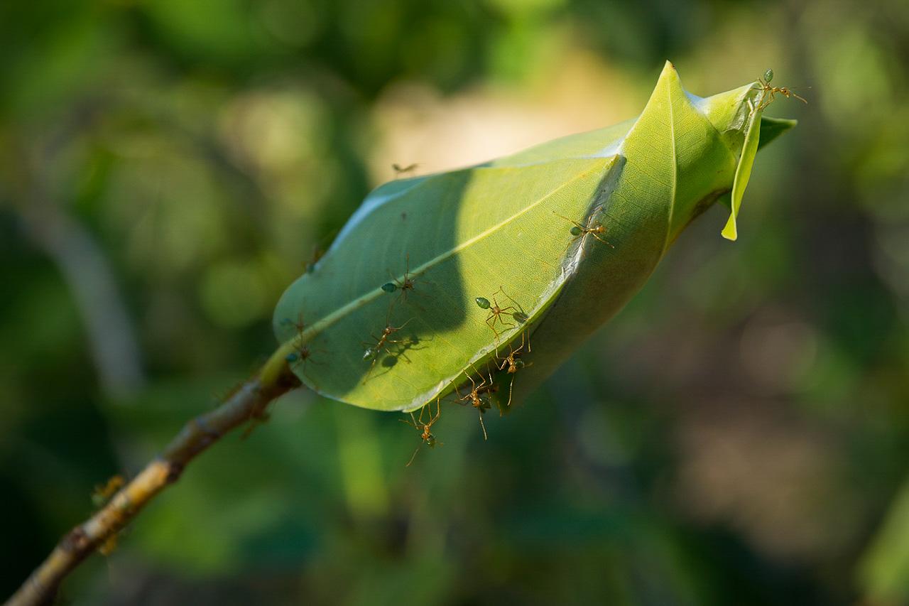 GREEN ANTS_KIMBERLEY_MACK0721