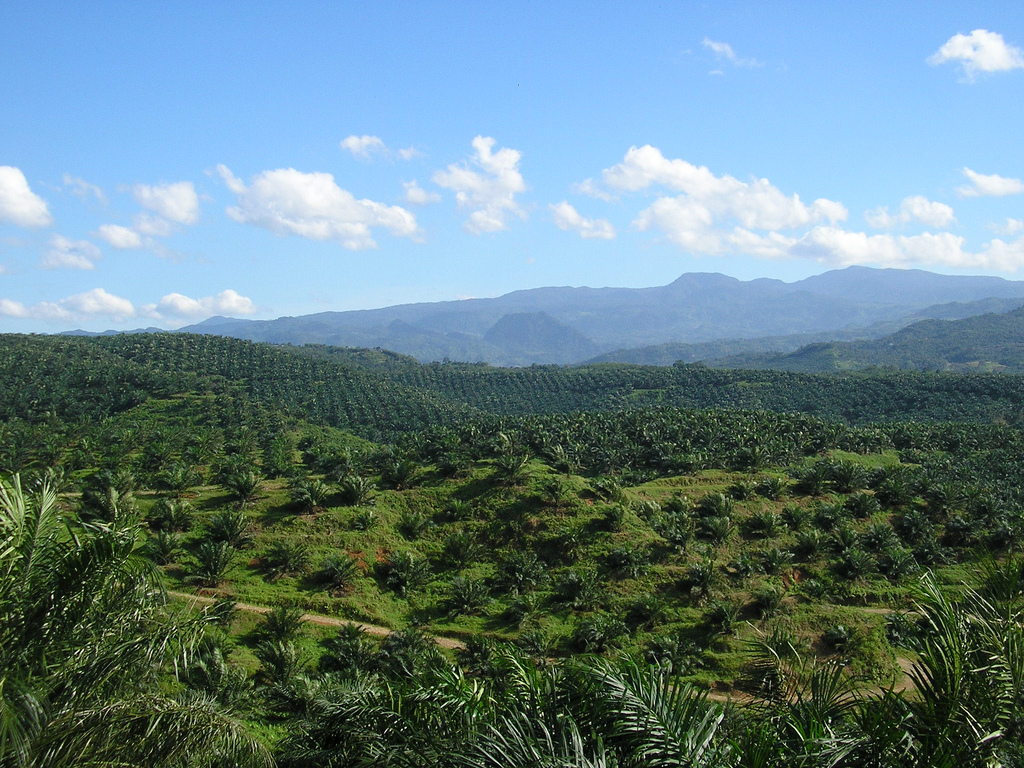 Oil_palm_plantation_in_Cigudeg-03
