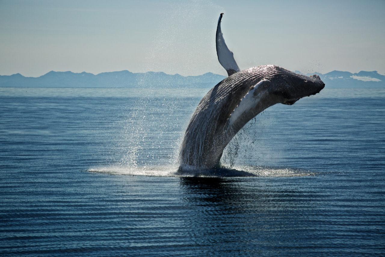 Humpback flipping for Valdez