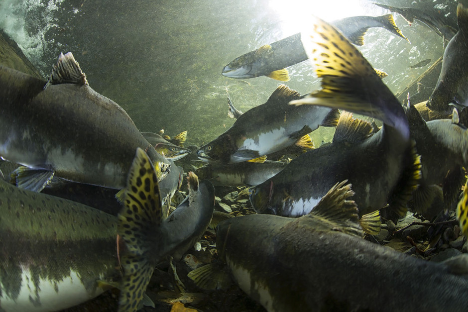 Salmon underwater, Alaska