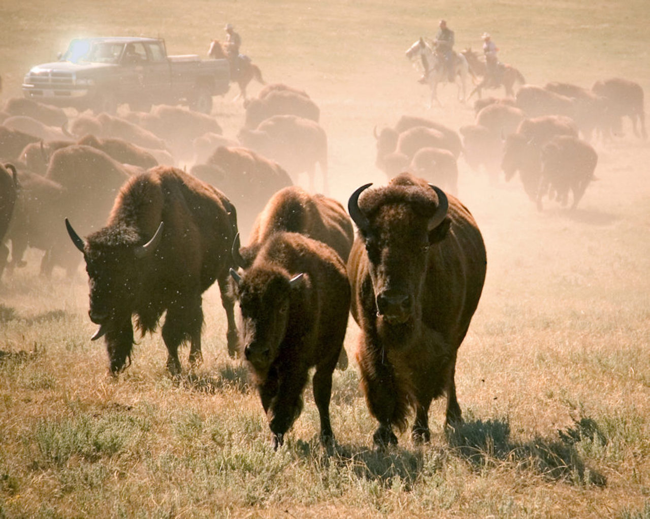 Buffalo Round-Up in Custer State Park