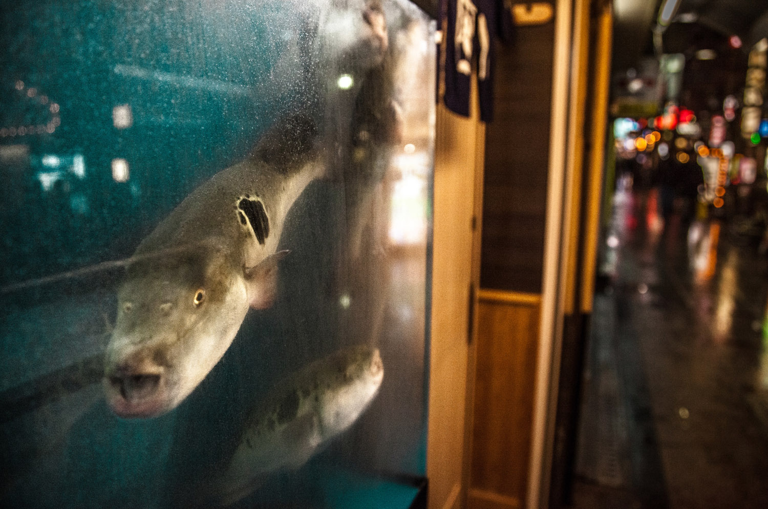 Poisonous Blowfish (fugu) stare out from their tank onto downtown city streets, Osaka
