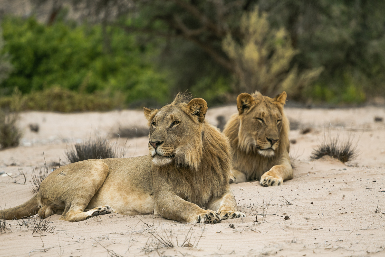 Two desert lions roam the Hoanib River valley, Skeleton Coast