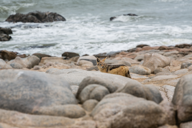 A black-backed jackal looks for food along the Skeleton Coast