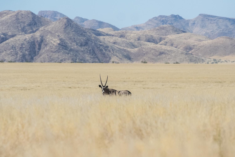 A lone oryx amongst the grasses of the Kaokoveld
